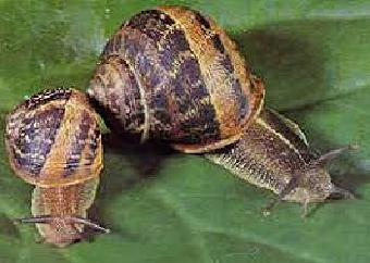 Escargots Petit-Gris et Gros-Gris